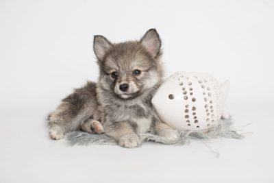 puppy186 week7 BowTiePomsky.com Bowtie Pomsky Puppy For Sale Husky Pomeranian Mini Dog Spokane WA Breeder Blue Eyes Pomskies Celebrity Puppy web4