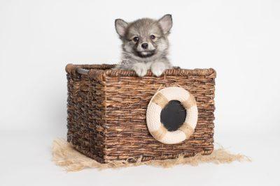 puppy186 week7 BowTiePomsky.com Bowtie Pomsky Puppy For Sale Husky Pomeranian Mini Dog Spokane WA Breeder Blue Eyes Pomskies Celebrity Puppy web5