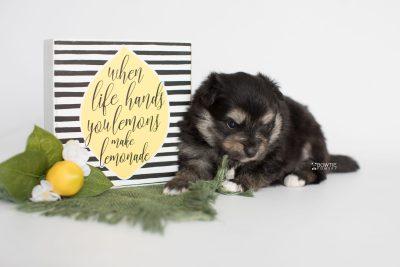 puppy187 week3 BowTiePomsky.com Bowtie Pomsky Puppy For Sale Husky Pomeranian Mini Dog Spokane WA Breeder Blue Eyes Pomskies Celebrity Puppy web4