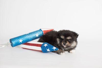 puppy187 week5 BowTiePomsky.com Bowtie Pomsky Puppy For Sale Husky Pomeranian Mini Dog Spokane WA Breeder Blue Eyes Pomskies Celebrity Puppy web2
