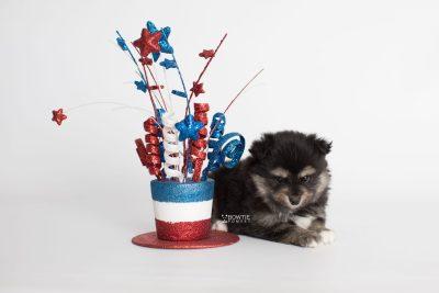 puppy187 week5 BowTiePomsky.com Bowtie Pomsky Puppy For Sale Husky Pomeranian Mini Dog Spokane WA Breeder Blue Eyes Pomskies Celebrity Puppy web3