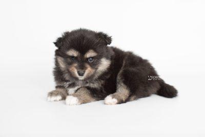 puppy187 week5 BowTiePomsky.com Bowtie Pomsky Puppy For Sale Husky Pomeranian Mini Dog Spokane WA Breeder Blue Eyes Pomskies Celebrity Puppy web6
