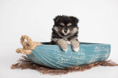 puppy187 week7 BowTiePomsky.com Bowtie Pomsky Puppy For Sale Husky Pomeranian Mini Dog Spokane WA Breeder Blue Eyes Pomskies Celebrity Puppy web1