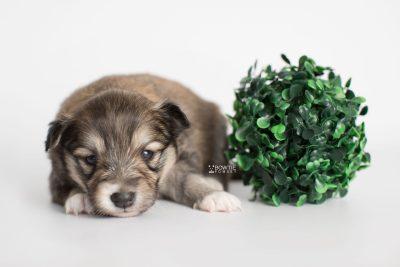 puppy189 week3 BowTiePomsky.com Bowtie Pomsky Puppy For Sale Husky Pomeranian Mini Dog Spokane WA Breeder Blue Eyes Pomskies Celebrity Puppy web2