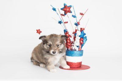 puppy189 week5 BowTiePomsky.com Bowtie Pomsky Puppy For Sale Husky Pomeranian Mini Dog Spokane WA Breeder Blue Eyes Pomskies Celebrity Puppy web3