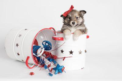 puppy189 week5 BowTiePomsky.com Bowtie Pomsky Puppy For Sale Husky Pomeranian Mini Dog Spokane WA Breeder Blue Eyes Pomskies Celebrity Puppy web6