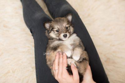 puppy189 week5 BowTiePomsky.com Bowtie Pomsky Puppy For Sale Husky Pomeranian Mini Dog Spokane WA Breeder Blue Eyes Pomskies Celebrity Puppy web9