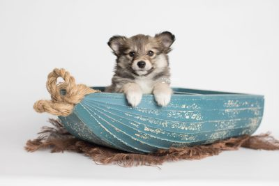 puppy189 week7 BowTiePomsky.com Bowtie Pomsky Puppy For Sale Husky Pomeranian Mini Dog Spokane WA Breeder Blue Eyes Pomskies Celebrity Puppy web1