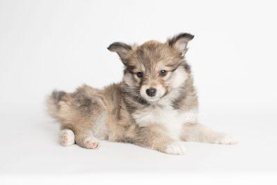 puppy189 week7 BowTiePomsky.com Bowtie Pomsky Puppy For Sale Husky Pomeranian Mini Dog Spokane WA Breeder Blue Eyes Pomskies Celebrity Puppy web6