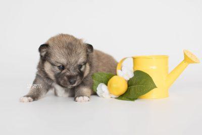 puppy190 week3 BowTiePomsky.com Bowtie Pomsky Puppy For Sale Husky Pomeranian Mini Dog Spokane WA Breeder Blue Eyes Pomskies Celebrity Puppy web3