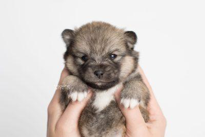 puppy190 week3 BowTiePomsky.com Bowtie Pomsky Puppy For Sale Husky Pomeranian Mini Dog Spokane WA Breeder Blue Eyes Pomskies Celebrity Puppy web9
