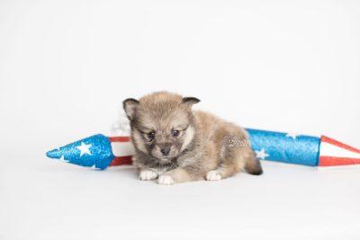 puppy190 week5 BowTiePomsky.com Bowtie Pomsky Puppy For Sale Husky Pomeranian Mini Dog Spokane WA Breeder Blue Eyes Pomskies Celebrity Puppy web3