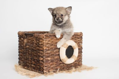puppy190 week7 BowTiePomsky.com Bowtie Pomsky Puppy For Sale Husky Pomeranian Mini Dog Spokane WA Breeder Blue Eyes Pomskies Celebrity Puppy web2
