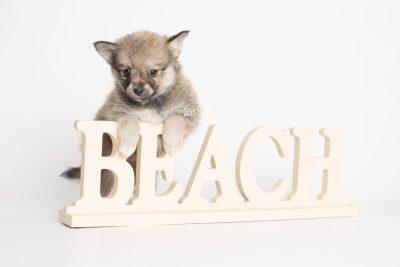 puppy190 week7 BowTiePomsky.com Bowtie Pomsky Puppy For Sale Husky Pomeranian Mini Dog Spokane WA Breeder Blue Eyes Pomskies Celebrity Puppy web4