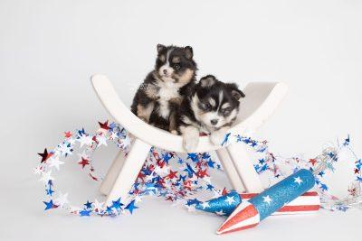 puppy191-192 week5 BowTiePomsky.com Bowtie Pomsky Puppy For Sale Husky Pomeranian Mini Dog Spokane WA Breeder Blue Eyes Pomskies Celebrity Puppy web