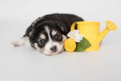 puppy191 week3 BowTiePomsky.com Bowtie Pomsky Puppy For Sale Husky Pomeranian Mini Dog Spokane WA Breeder Blue Eyes Pomskies Celebrity Puppy web5