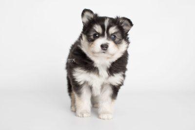 puppy191 week5 BowTiePomsky.com Bowtie Pomsky Puppy For Sale Husky Pomeranian Mini Dog Spokane WA Breeder Blue Eyes Pomskies Celebrity Puppy web6