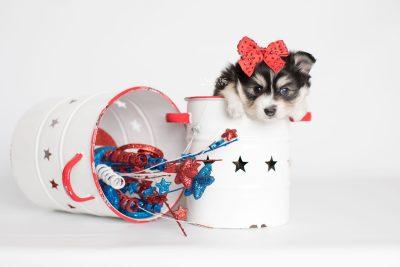 puppy191 week5 BowTiePomsky.com Bowtie Pomsky Puppy For Sale Husky Pomeranian Mini Dog Spokane WA Breeder Blue Eyes Pomskies Celebrity Puppy web8