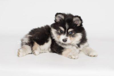 puppy191 week7 BowTiePomsky.com Bowtie Pomsky Puppy For Sale Husky Pomeranian Mini Dog Spokane WA Breeder Blue Eyes Pomskies Celebrity Puppy web7