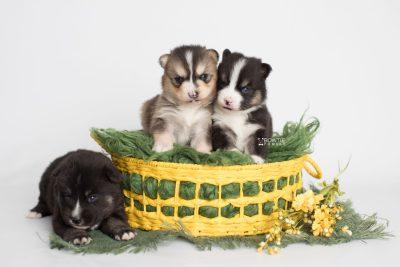 puppy193-195 week3 BowTiePomsky.com Bowtie Pomsky Puppy For Sale Husky Pomeranian Mini Dog Spokane WA Breeder Blue Eyes Pomskies Celebrity Puppy web