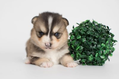 puppy194 week3 BowTiePomsky.com Bowtie Pomsky Puppy For Sale Husky Pomeranian Mini Dog Spokane WA Breeder Blue Eyes Pomskies Celebrity Puppy web2