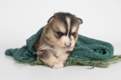puppy194 week3 BowTiePomsky.com Bowtie Pomsky Puppy For Sale Husky Pomeranian Mini Dog Spokane WA Breeder Blue Eyes Pomskies Celebrity Puppy web5