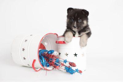 puppy195 week5 BowTiePomsky.com Bowtie Pomsky Puppy For Sale Husky Pomeranian Mini Dog Spokane WA Breeder Blue Eyes Pomskies Celebrity Puppy web6