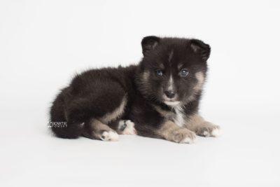 puppy195 week5 BowTiePomsky.com Bowtie Pomsky Puppy For Sale Husky Pomeranian Mini Dog Spokane WA Breeder Blue Eyes Pomskies Celebrity Puppy web7