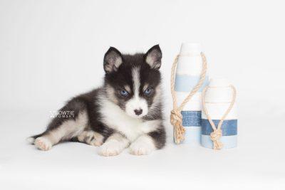 puppy193 week7 BowTiePomsky.com Bowtie Pomsky Puppy For Sale Husky Pomeranian Mini Dog Spokane WA Breeder Blue Eyes Pomskies Celebrity Puppy web3