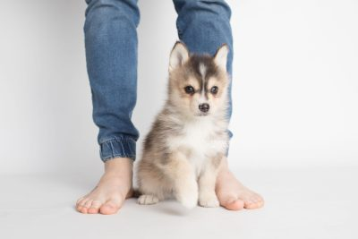 puppy194 week7 BowTiePomsky.com Bowtie Pomsky Puppy For Sale Husky Pomeranian Mini Dog Spokane WA Breeder Blue Eyes Pomskies Celebrity Puppy web1