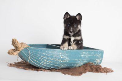 puppy195 week7 BowTiePomsky.com Bowtie Pomsky Puppy For Sale Husky Pomeranian Mini Dog Spokane WA Breeder Blue Eyes Pomskies Celebrity Puppy web2