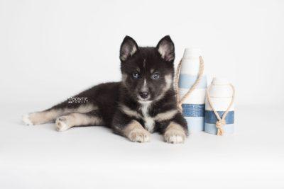 puppy195 week7 BowTiePomsky.com Bowtie Pomsky Puppy For Sale Husky Pomeranian Mini Dog Spokane WA Breeder Blue Eyes Pomskies Celebrity Puppy web4