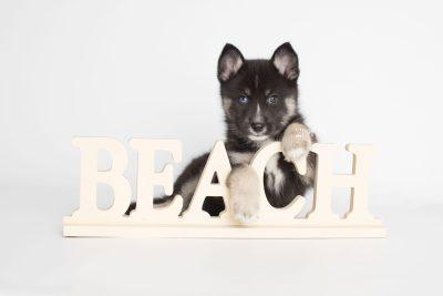puppy195 week7 BowTiePomsky.com Bowtie Pomsky Puppy For Sale Husky Pomeranian Mini Dog Spokane WA Breeder Blue Eyes Pomskies Celebrity Puppy web6