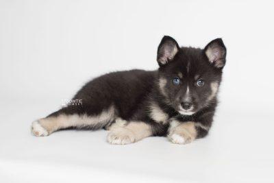 puppy195 week7 BowTiePomsky.com Bowtie Pomsky Puppy For Sale Husky Pomeranian Mini Dog Spokane WA Breeder Blue Eyes Pomskies Celebrity Puppy web8