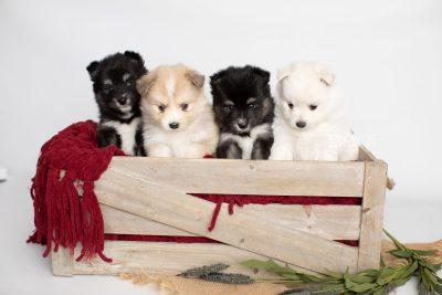 puppy196-199 week5 BowTiePomsky.com Bowtie Pomsky Puppy For Sale Husky Pomeranian Mini Dog Spokane WA Breeder Blue Eyes Pomskies Celebrity Puppy web1