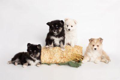 puppy196-199 week7 BowTiePomsky.com Bowtie Pomsky Puppy For Sale Husky Pomeranian Mini Dog Spokane WA Breeder Blue Eyes Pomskies Celebrity Puppy web