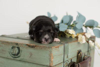 puppy196 week1 BowTiePomsky.com Bowtie Pomsky Puppy For Sale Husky Pomeranian Mini Dog Spokane WA Breeder Blue Eyes Pomskies Celebrity Puppy web5