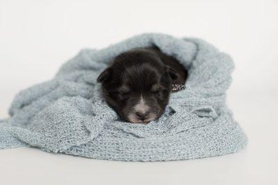 puppy196 week1 BowTiePomsky.com Bowtie Pomsky Puppy For Sale Husky Pomeranian Mini Dog Spokane WA Breeder Blue Eyes Pomskies Celebrity Puppy web6