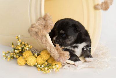 puppy196 week3 BowTiePomsky.com Bowtie Pomsky Puppy For Sale Husky Pomeranian Mini Dog Spokane WA Breeder Blue Eyes Pomskies Celebrity Puppy web1