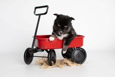 puppy196 week5 BowTiePomsky.com Bowtie Pomsky Puppy For Sale Husky Pomeranian Mini Dog Spokane WA Breeder Blue Eyes Pomskies Celebrity Puppy web1