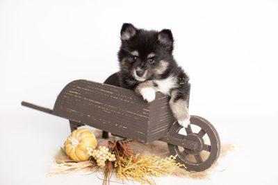 puppy196 week7 BowTiePomsky.com Bowtie Pomsky Puppy For Sale Husky Pomeranian Mini Dog Spokane WA Breeder Blue Eyes Pomskies Celebrity Puppy web1