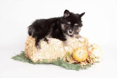 puppy196 week7 BowTiePomsky.com Bowtie Pomsky Puppy For Sale Husky Pomeranian Mini Dog Spokane WA Breeder Blue Eyes Pomskies Celebrity Puppy web2