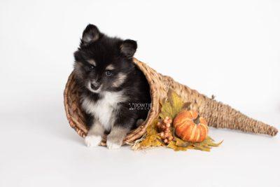 puppy196 week7 BowTiePomsky.com Bowtie Pomsky Puppy For Sale Husky Pomeranian Mini Dog Spokane WA Breeder Blue Eyes Pomskies Celebrity Puppy web3