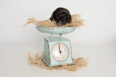 puppy197 week1 BowTiePomsky.com Bowtie Pomsky Puppy For Sale Husky Pomeranian Mini Dog Spokane WA Breeder Blue Eyes Pomskies Celebrity Puppy web2