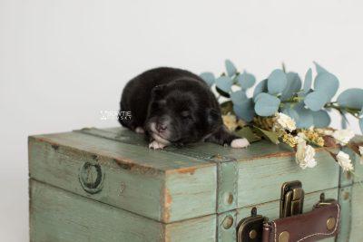 puppy197 week1 BowTiePomsky.com Bowtie Pomsky Puppy For Sale Husky Pomeranian Mini Dog Spokane WA Breeder Blue Eyes Pomskies Celebrity Puppy web3