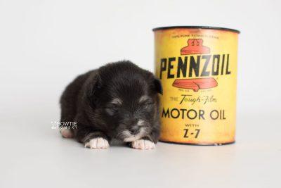 puppy197 week3 BowTiePomsky.com Bowtie Pomsky Puppy For Sale Husky Pomeranian Mini Dog Spokane WA Breeder Blue Eyes Pomskies Celebrity Puppy web4
