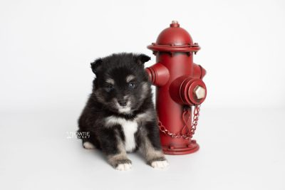 puppy197 week5 BowTiePomsky.com Bowtie Pomsky Puppy For Sale Husky Pomeranian Mini Dog Spokane WA Breeder Blue Eyes Pomskies Celebrity Puppy web2