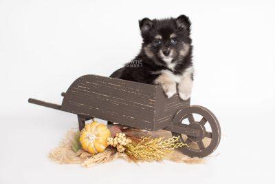 puppy197 week7 BowTiePomsky.com Bowtie Pomsky Puppy For Sale Husky Pomeranian Mini Dog Spokane WA Breeder Blue Eyes Pomskies Celebrity Puppy web2