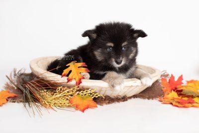 puppy197 week7 BowTiePomsky.com Bowtie Pomsky Puppy For Sale Husky Pomeranian Mini Dog Spokane WA Breeder Blue Eyes Pomskies Celebrity Puppy web5