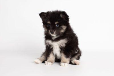 puppy197 week7 BowTiePomsky.com Bowtie Pomsky Puppy For Sale Husky Pomeranian Mini Dog Spokane WA Breeder Blue Eyes Pomskies Celebrity Puppy web9